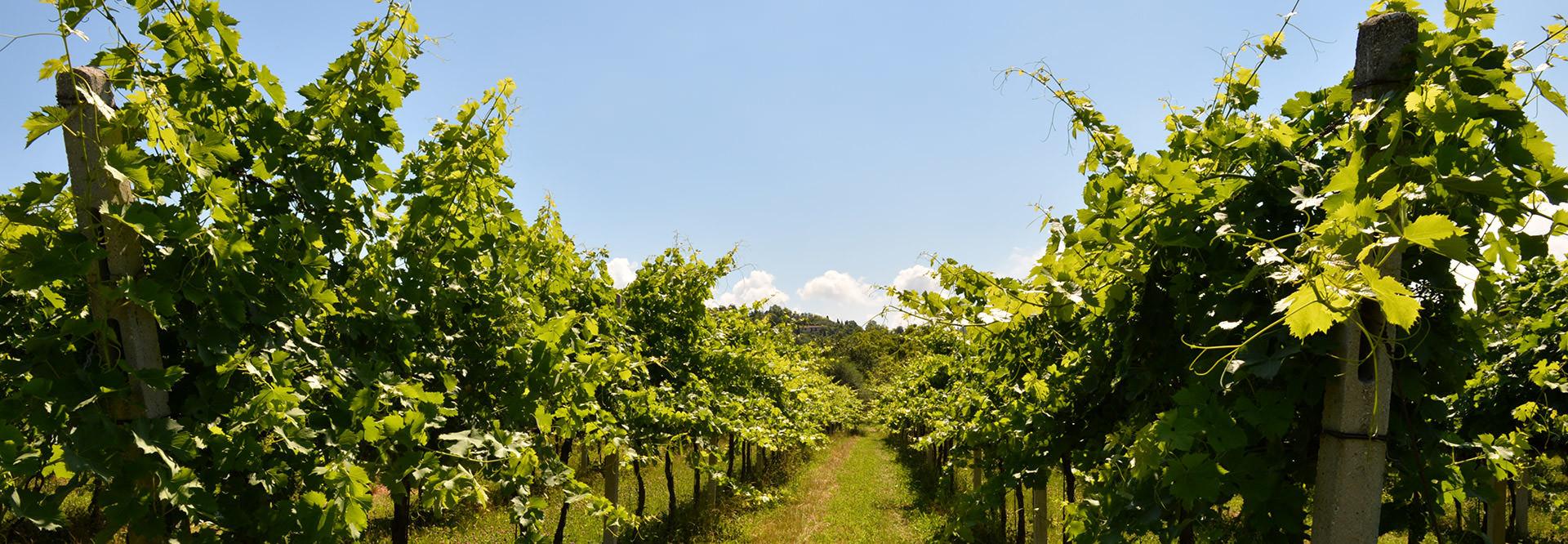 Vini e spumanti tipici del Lago di Garda, freschi e fruttati che nascono dal pieno rispetto dell'ambiente e del territorio.